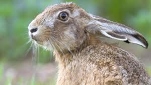 The Hare story