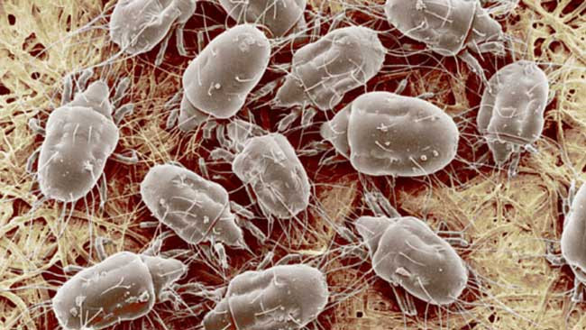Dust mites under a microscope.