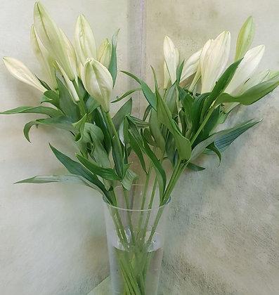 Lilien longiflorum