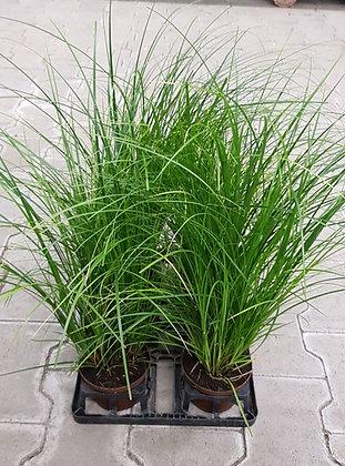 Carex brunnea im Kulturtopf
