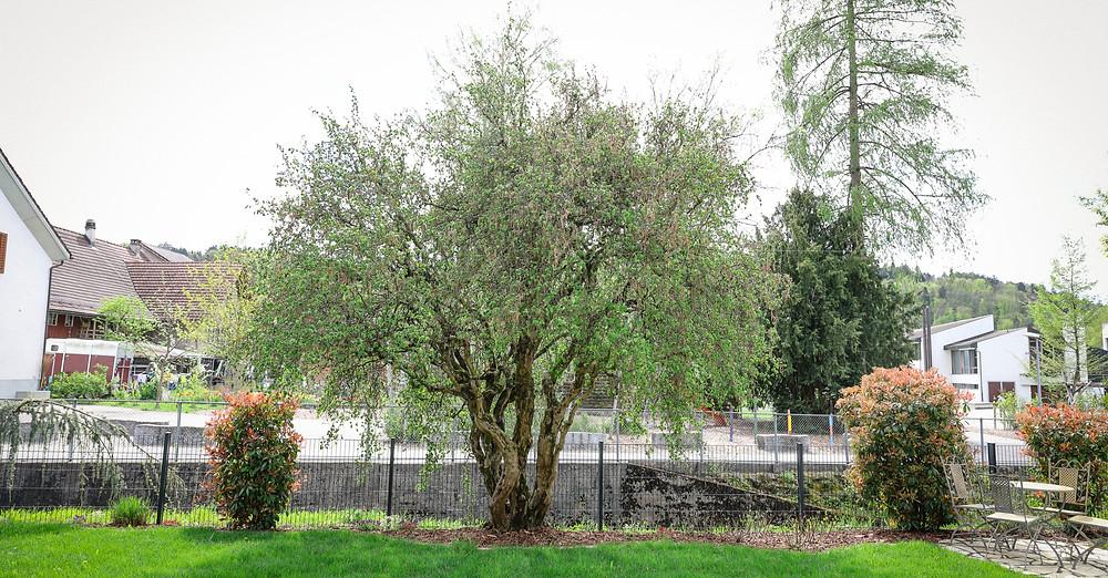 Gartenpflege, Winterschnitt, Obstbäume, Sträucher, Laubgehölz,