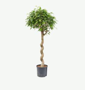 Ficus benjamina Spirale