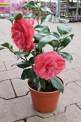 Camellia japonica im Kulturtopf