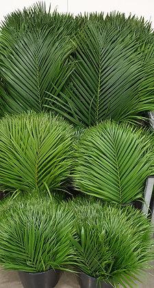 Schnittgrün Palmwedel pro Bund