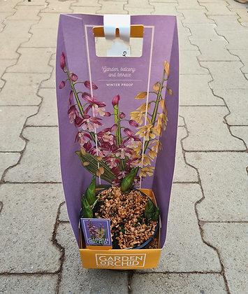Winterhärte Orchidee für den Garten