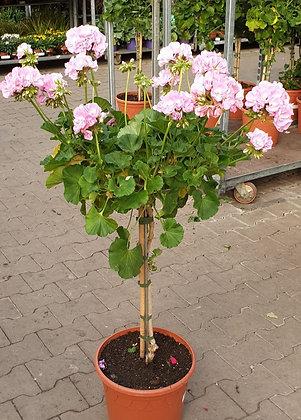 Pelargonium Stamm