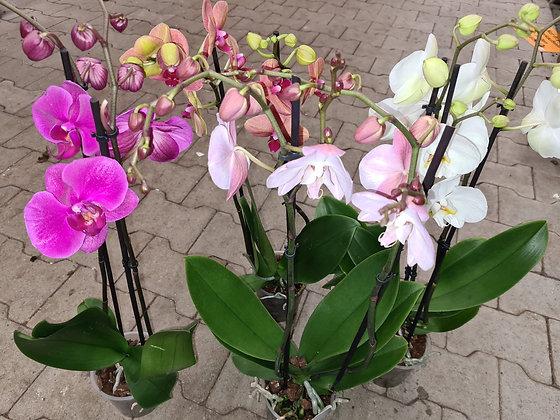 Orchideen im Kulturtopf