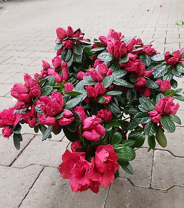 Azalea im Kulturtopf pink im Kulturtopf