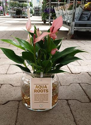 Anthurium Aqua Roots im Glas