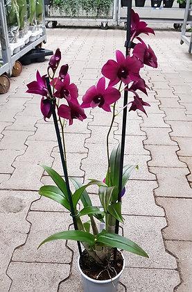 Dendrobium Thailand 2Rispen