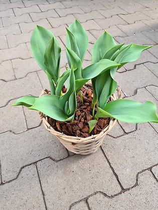 Tulpen im Korb bepflanzt