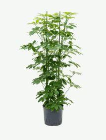 Schefflera arboricola 4pp