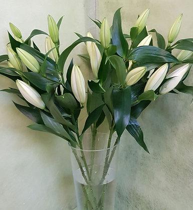 Lilien oriental
