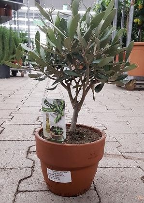 Olivenbäumchen Olea  im Kulturtopf