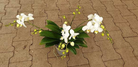Phalaenopsis (Orchidee) 4-5 Rispen