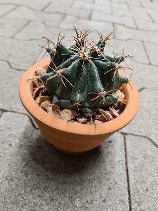 Kaktus red stone