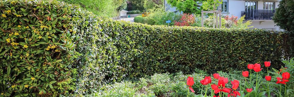 Hecken richtig schneiden, Buxhecke, Lorbeerhecke, Laubgehölze, Buchenhecke, DreamPlant, Gartenpflege, Gartengestaltung, Gartenbau