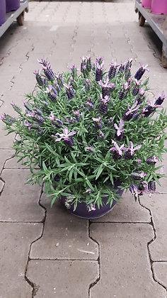 Lavendel Busch