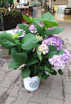Hortensien im Kulturtopf violett