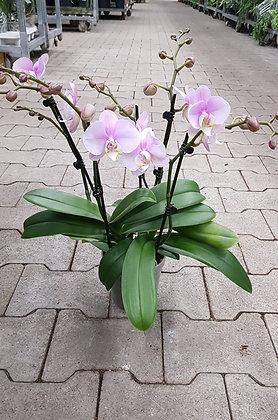 Phalaenopsis 5Rispen