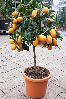 Kumquat im Kulturtopf