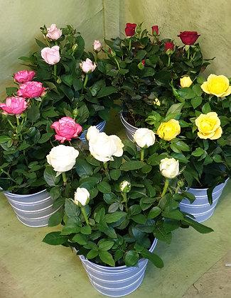 Rosenbüsche in Blechkübeli