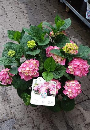 Hortensien im Kulturtopf rosaton