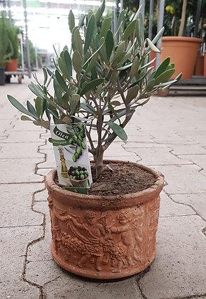 Olivenbäumchen Olea  im Kulturtopf H. Stk. 35.-