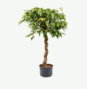 Ficus amstel king Spirale
