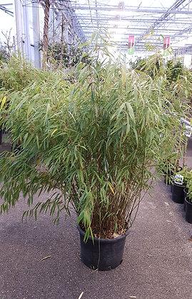 Bambus immergrün (Gartenbambus)