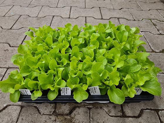 Salatsetzling Eichblatt grün