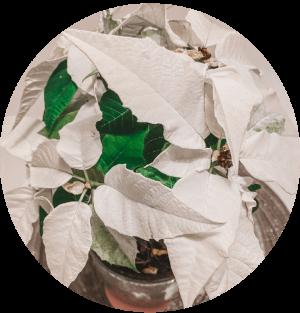 Christmas Special - How to care for poinsettia, azalea and amaryllis