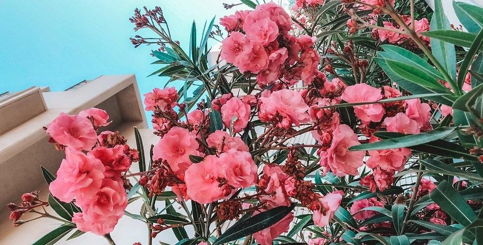 oleander-header.jpg