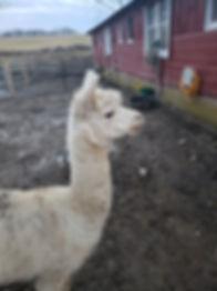 alpaca white.jpeg