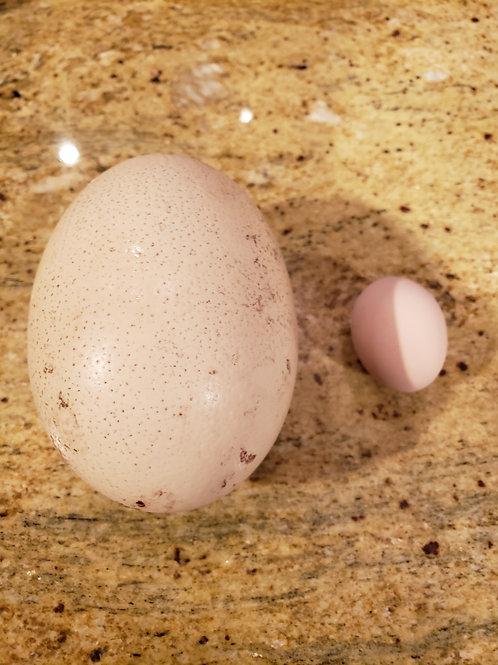 Mohican Farm Ostrich Eggs