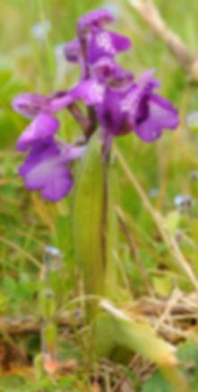 deux orchis bouffon (anacamptis morio) a