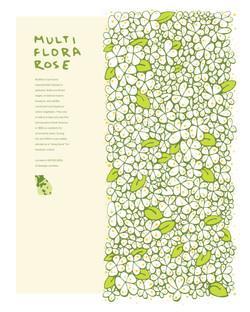Invasive Poster: Multiflora Rose
