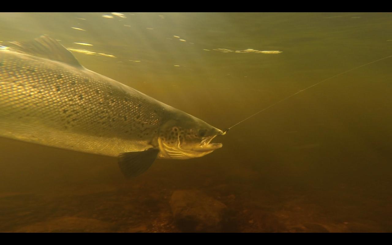 Newfounland Salmon 4