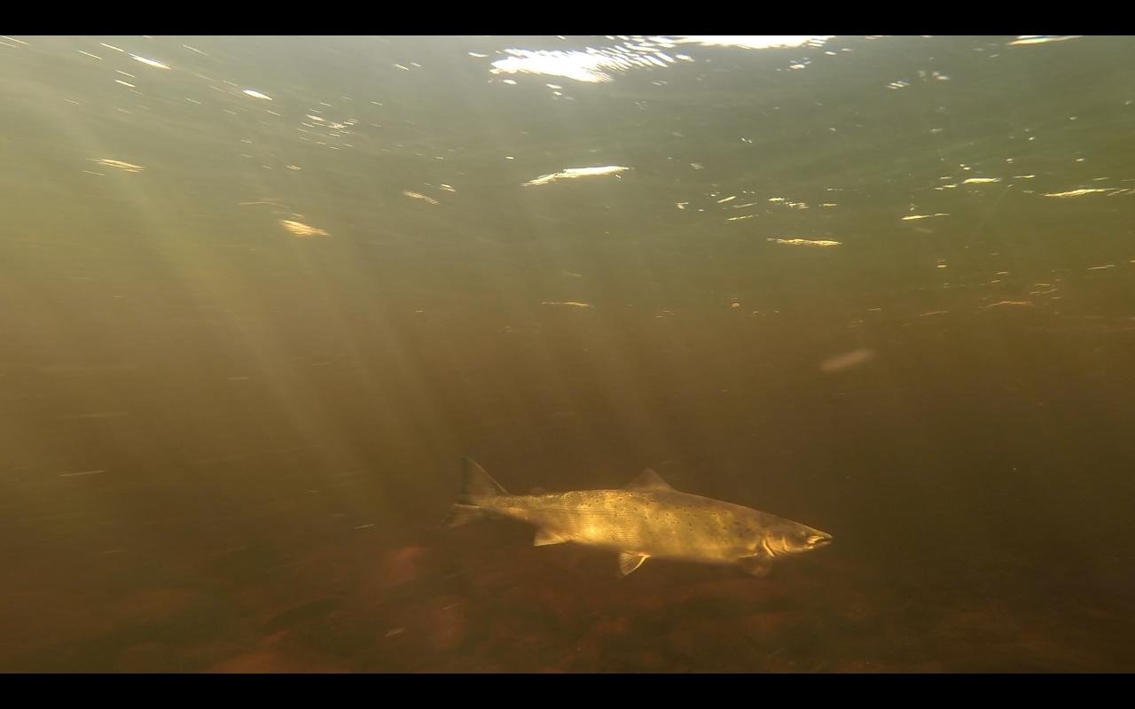 Newfounland Salmon 3