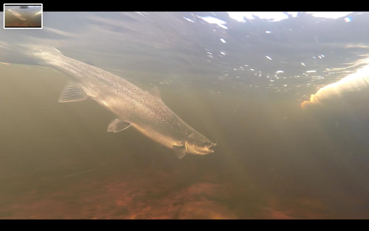 Newfounland Salmon 2