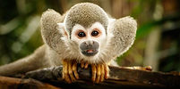squirrel-monkey-bigstock--177367042.jpg