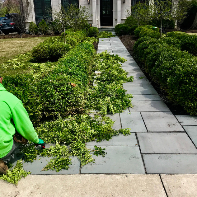 Spring Boxwood Thinning and Pruning