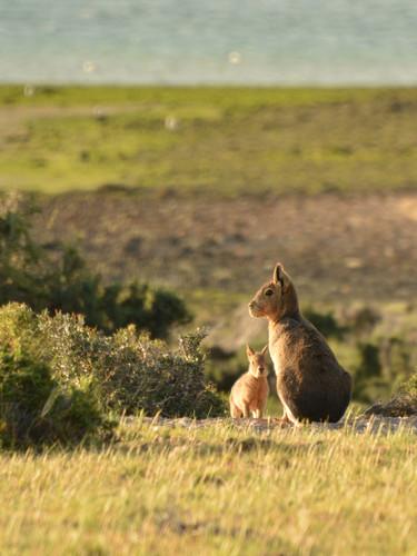 Mara Patagonica.jpg