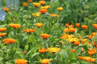 Como secar y almacenar plantas medicinales