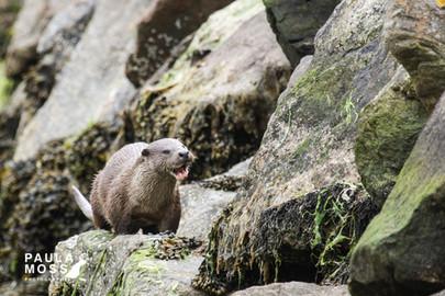 Otter with Teeth 2 (2).jpg