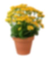 Yellow Kalanchoe.jpg