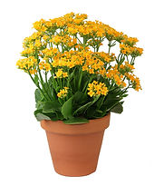 Yellow Kalanchoe.jpg