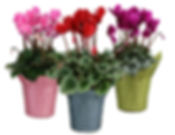 4in Cyclamen-MKD group-.jpg