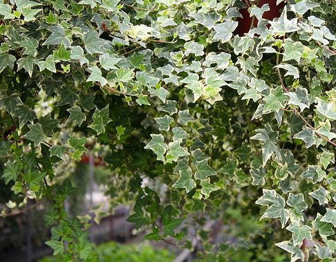 Ivy header 2.jpg
