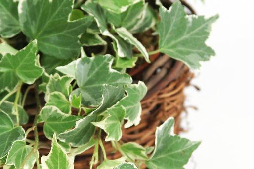 Ivy clip2.jpg